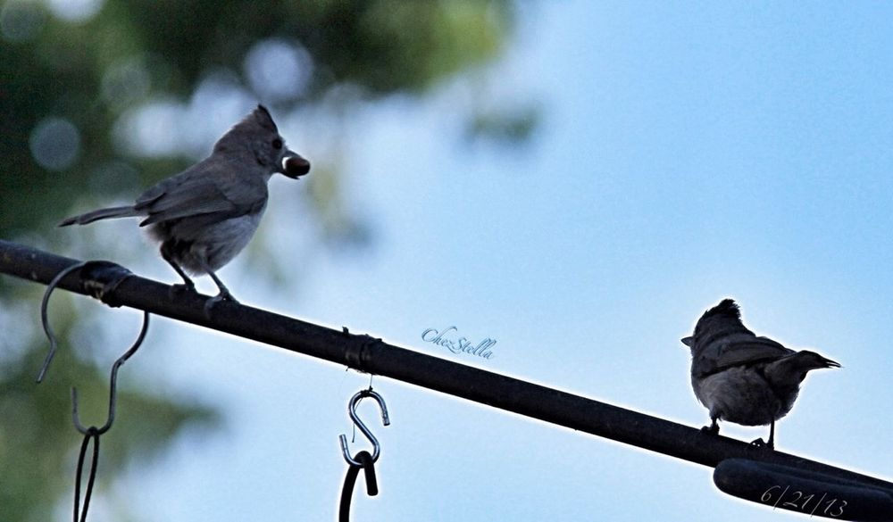 A couple of titmice! Backyard Birder