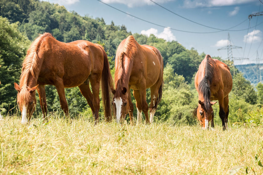 Horses on the green meadow Agriculture Animal Animal Family Animal Themes Animal Wildlife Brown Day Domestic Domestic Animals Field Grass Grazing Group Of Animals Herbivorous Land Livestock Mammal Nature No People Outdoors Pets Plant Vertebrate