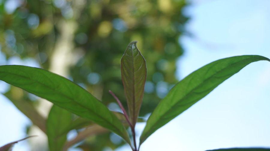 leaf Leaf Plant