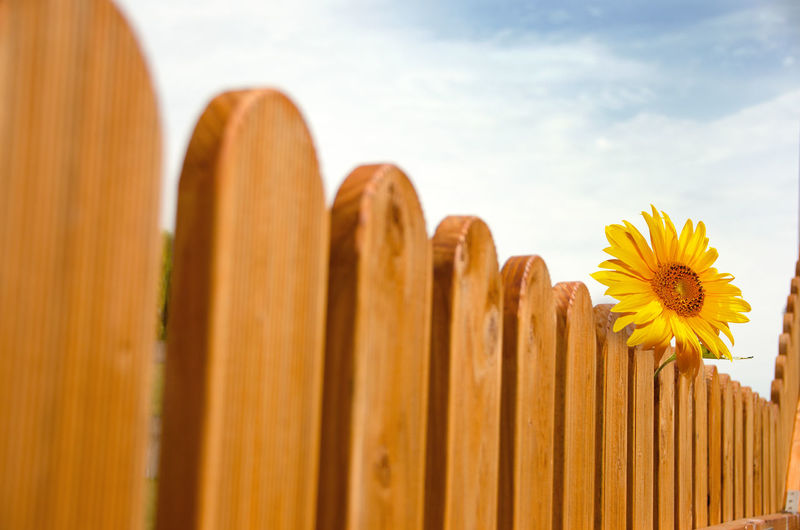 Close-up of yellow flowering plants against wooden fence