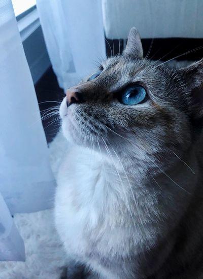 Blue Whisker