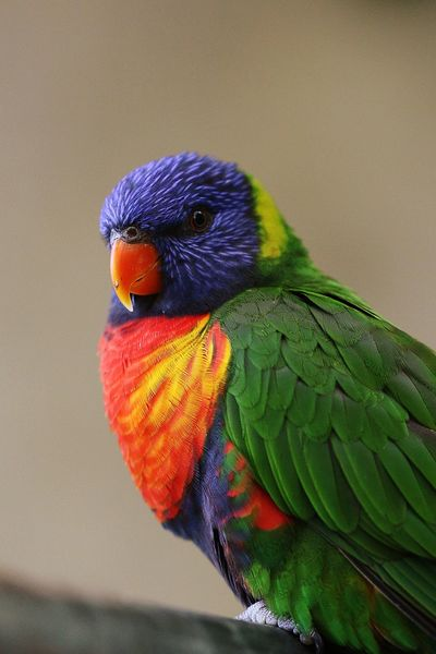 Colors Colorful colour of life Bird Animsls Animal Themes Rainbow Lorikeet Bird Perching Parrot Multi Colored Close-up