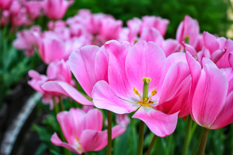 Beautiful pink tulip Pink Flower Pink Beauty In Nature Beautiful Beauty Tulip Tulips Garden Flowering Plant Flower Head Flower Pink Color Petal Springtime Blossom Close-up Plant Stamen Pollen Blooming In Bloom