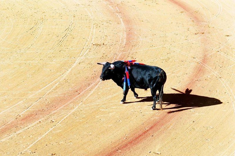High angle view of bull at corrida