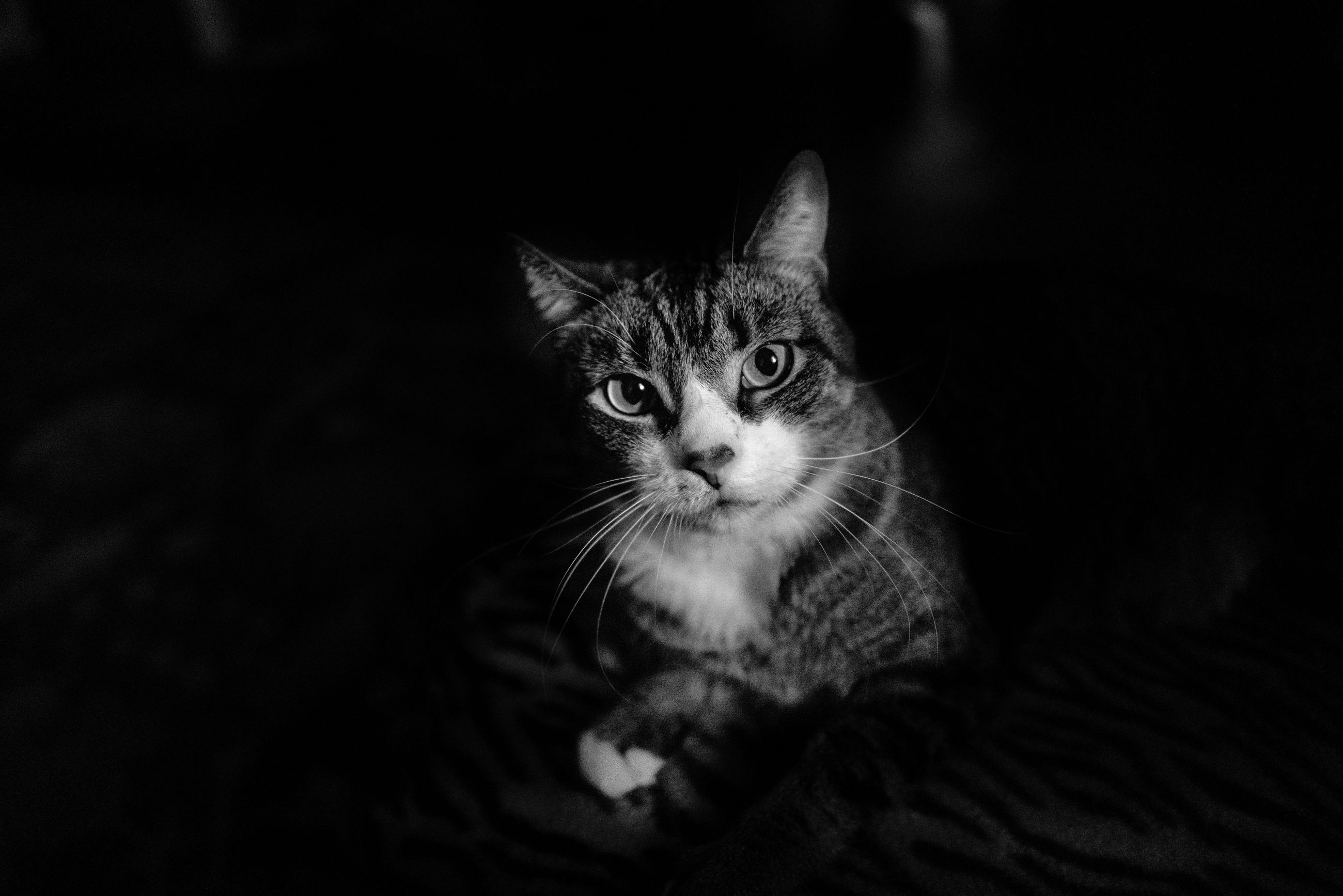 pets, cat, domestic, domestic animals, domestic cat, mammal, feline, one animal, vertebrate, looking at camera, portrait, no people, whisker, indoors, young animal, kitten, animal body part, animal eye