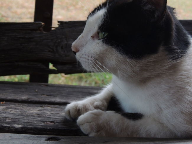 Animal Animal Head  Animal Themes Cat Close-up Day Domestic Domestic Animals Domestic Cat Feline Looking Looking Away Mammal No People One Animal Pets Relaxation Sitting Vertebrate Whisker Wood - Material