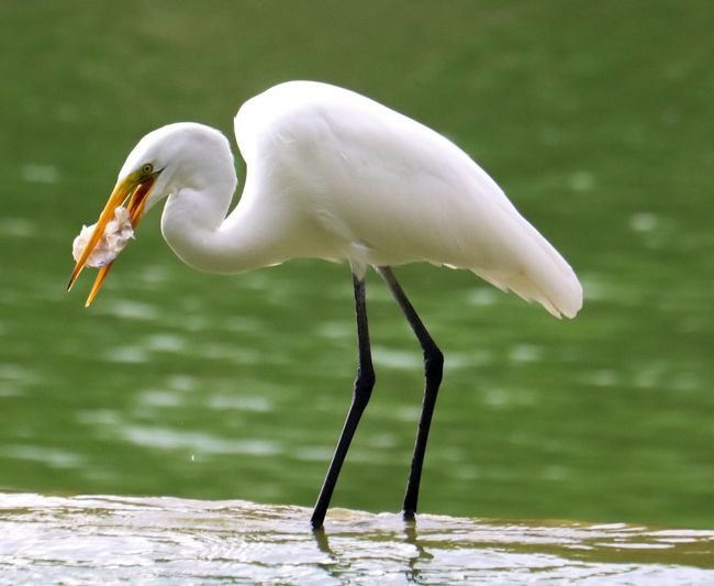 Bird Animal Themes One Animal Animals In The Wild Animal Wildlife Focus On Foreground No People Day Nature Outdoors Beak Great Egret Water Egret Close-up Perching Heron Rickeherbertphotography Travel Photography Wanderlust Fishing