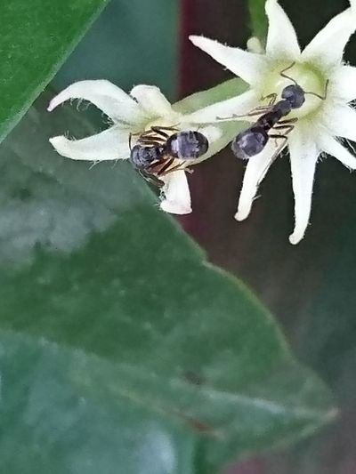 Ant Flower Head