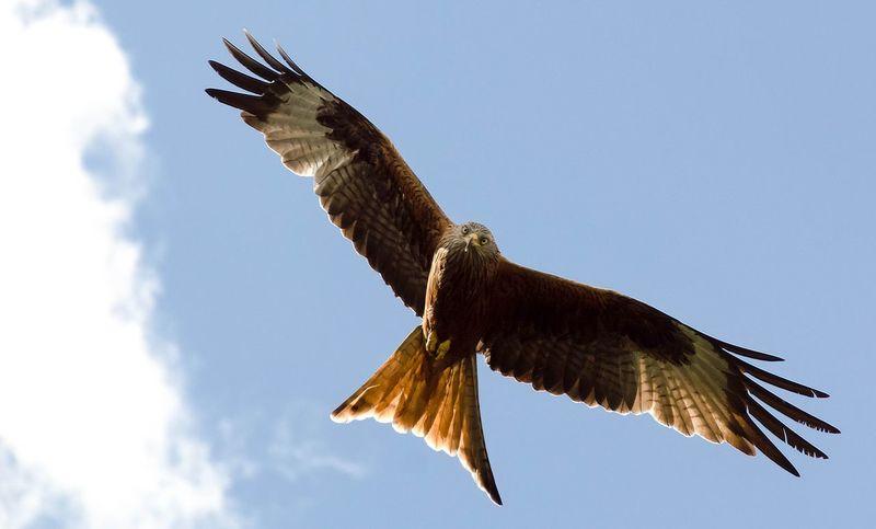 Red Kite In Flight Red Kite Red Kites Hawk - Bird Gliding Flapping