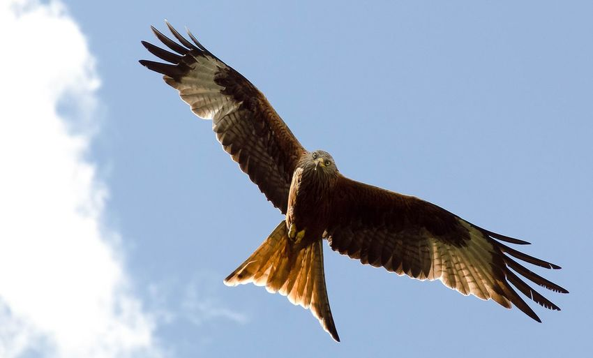 Red Kite In Flight Red Kite Red Kites Hawk - Bird Gliding Flapping