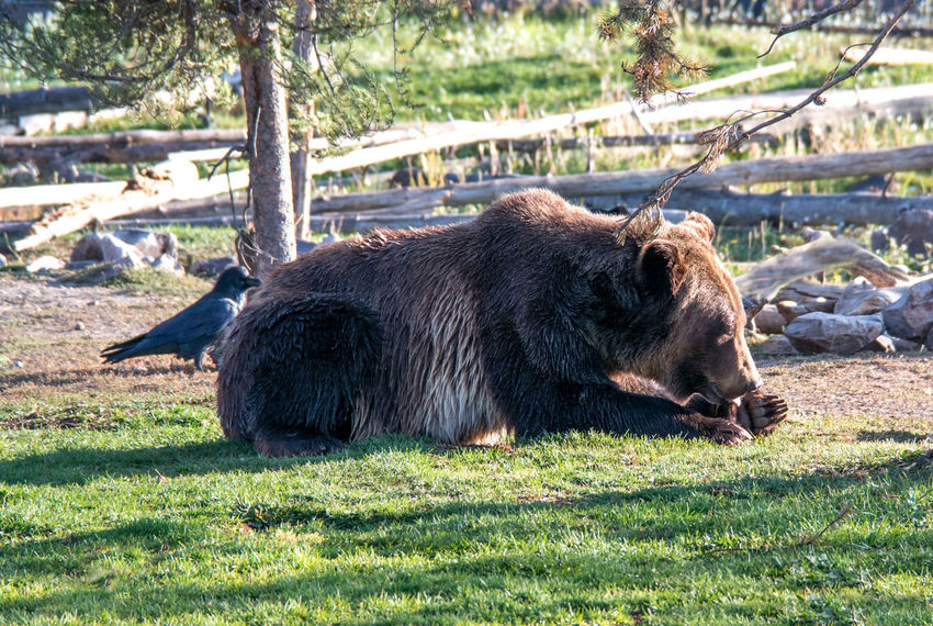 a large grizzly bear eats a small snack, while ravens wait close by to help finish any leftovers Black Raven Bird Birding Hairy  Mammal Brown One Animal Animal Wildlife Nature America Majestic Creature Bears Large Grizzley Bear Dangerous Animals Montana