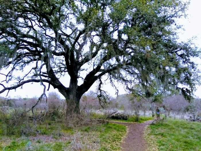 A tree with strong roots laughs at the storm. Texas Trees Hiking Trail Tree Big Tree Tree Sky Grass Landscape Branch Growing Woods Pathway Dirt Track Tree Trunk Empty Road Walkway Growth