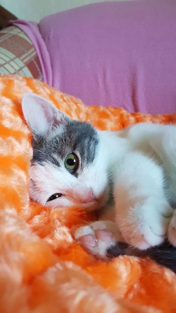 Pamuk Pets Portrait Domestic Cat Cute Looking At Camera Feline Beauty Nose Ear Close-up