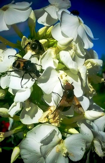 Lunch hour rush at the local Phlox restaurant. Nature Insects  Flower Close Up