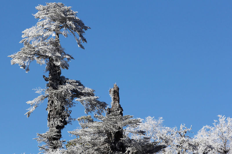 Low Angle View Of Snow Covered Tree Against Clear Blue Sky