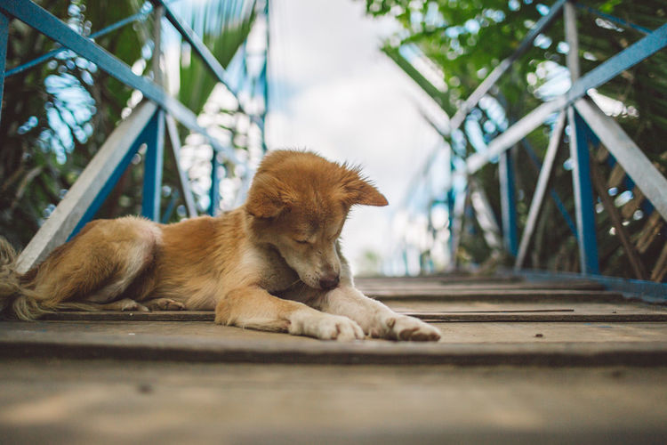 Mekong Vietnam Animal Animal Head  Animal Themes Canine Day Dog Domestic Domestic Animals Looking Lying Down Mammal No People One Animal Outdoors Pets Puppy Relaxation Resting Selective Focus Sitting Small Surface Level Vertebrate Young Animal