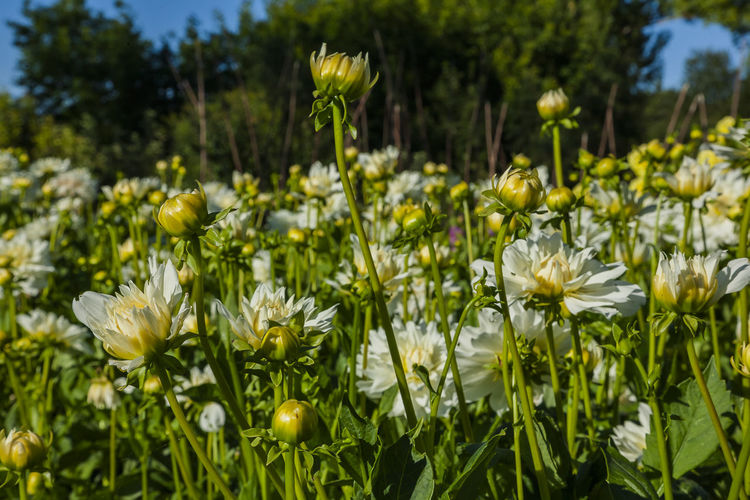 Flower Flowering Plant Plant Growth Vulnerability  Fragility Beauty In Nature Freshness Nature Field Close-up Yellow Flower Head Land No People Petal Inflorescence Green Color Day Focus On Foreground Outdoors Spring Flowerbed