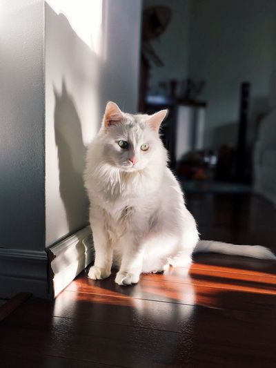 Domestic Cat Pets Domestic Animals Mammal One Animal Animal Themes Feline Looking At Camera Indoors  Sitting No People Portrait Day Persian Cat  Cat Focus On Foreground Depth Of Field Portrait Photography EyeEmNewHere