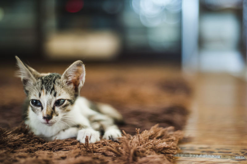 Kitten Relaxing On Carpet