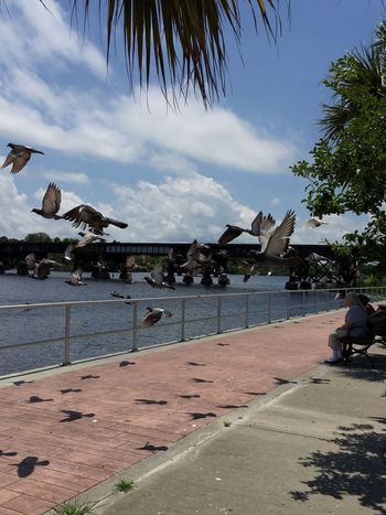 Crane Creek Park Pidgeons Pidgeons Birds Sky Flying Birds River Park Melbourne, Florida Sitting In The Park