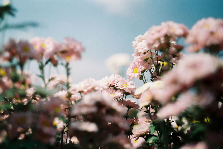 All flower pink