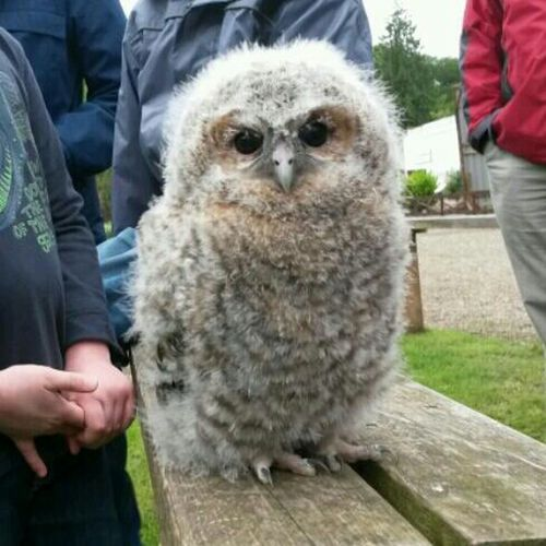 """Fluffy"" the baby owl! Owl Birds Streamzoofamily Eye Em Nature Lover Hedwig"