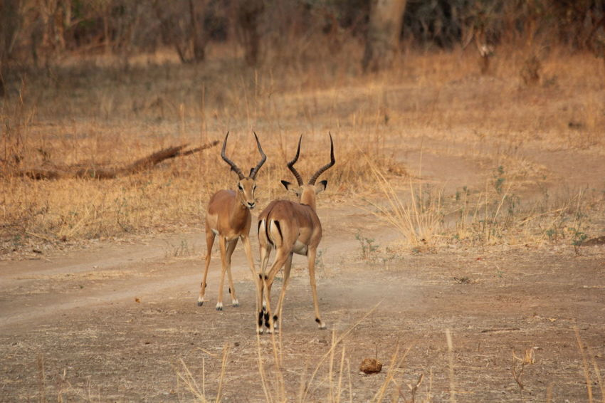 Zambia Animal Animal Fight Animal Themes Animal Wildlife Animals In The Wild Arid Climate Climate Day Domestic Animals Environment Field Full Length Group Of Animals Herbivorous Land Landscape Mammal Nature No People Non-urban Scene Semi-arid Standing Two Animals Vertebrate