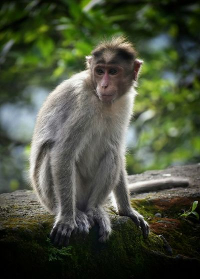 Asian monkey. Animal Wildlife One Animal Monkey Animals In The Wild Looking At Camera Portrait Mammal Outdoors Sitting No People Day Nature Close-up Animal Themes Baboon
