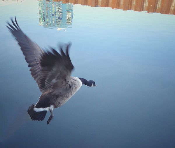 Flying Bird Spread Wings Nature Animal Themes Animals In The Wild No People Water Beauty In Nature Day Outdoors Adapted To The City Reflection City Building EyeEmNewHere