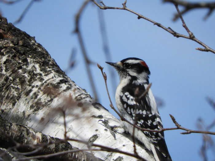 Downey Woodpecker In Tree Downey Woodpecker Woodpecker In Tree Woodpecker Bird Watching Birds Wildlife Birds Of EyeEm  Nature Calm Tranquility Tranquil Scene Outdoors Beauty In Nature Nature Photography Woodpecker Photography Bird Photography Wood Bird Tree Perching Branch Snow Woodpecker Close-up Tranquil Scene Tree Trunk