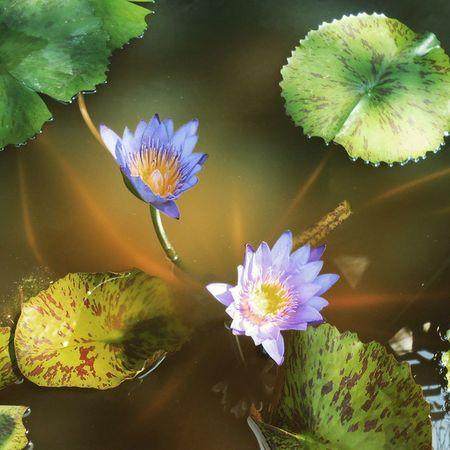 Flower Hoa Hoasung Sung chuaphudung phudung hatien kiengiang