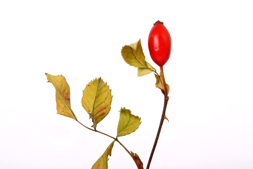 rose hip Autumn Red Rose Hip Berry Close-up Day No People Rose Hips White Background White Backround