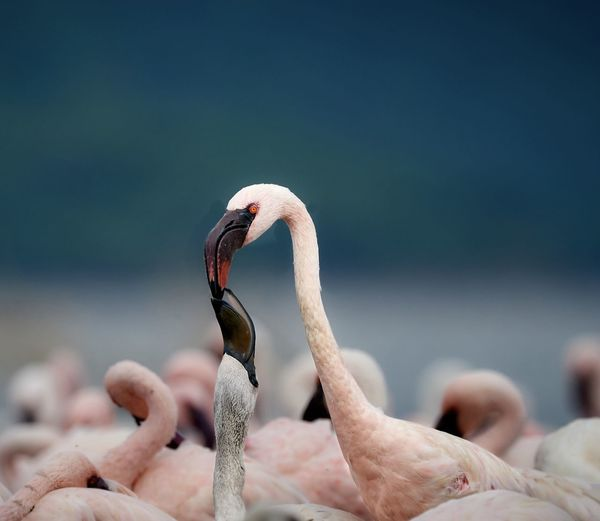 Close-up of flamingos