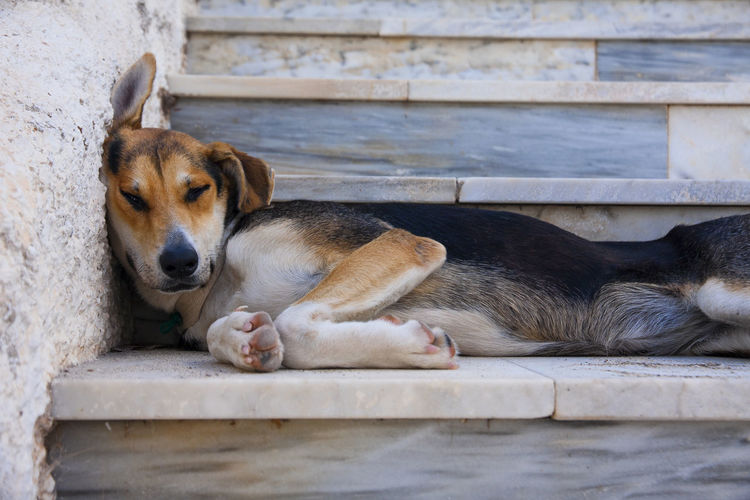 pinto do relaxing on the stairs Abstract Animal Themes Canine Cute Dog Domestic Animals Funny Humor Mammal Mammals One Animal Outdoors Pets Relaxation Sleeping Stairs