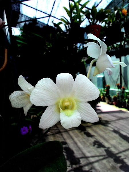 Vườn hoa phong lan😆 Phong Lan Hoa Phong Lan Orchids White Orchid Orchids Garden I Love Orchids White Orchids Ground Orchids BEAUTIFUL ORCHIDS Orchids!