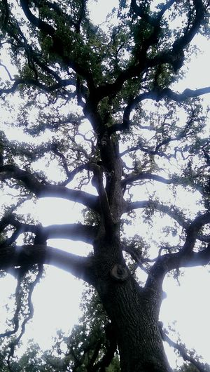 Tree_collection  Silhouette Nature_collection EyeEm Nature Lover Ide Adobe State Park Hugging A Tree Historical Place Norcal Summertime Oak Trees