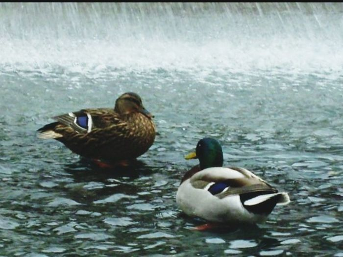 Bird Water Animal Themes Animals In The Wild Duck Nature Two Animals Mandarin Duck No People Animal Wildlife Beauty In Nature The Great Outdoors - 2018 EyeEm Awards