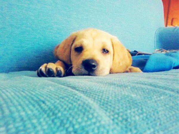 Turquoise By Motorola Labrador Labradoodle Labradorable  Labradors Labrador Retriever LabradorRetriever Dog Love DogLove Dog❤