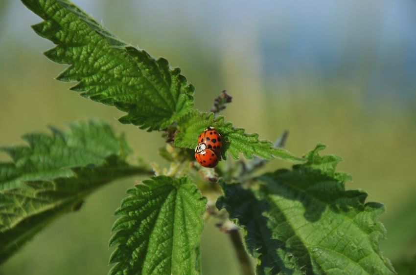 Make love NOT war and get lovepoints 🙈😍😗😙 Ladybugs LadyBugLove Ladybugsaregoodluck Nature Nature Photography Summer Summertime Getclosetonature Get Closer My Point Of View I Love Nature!