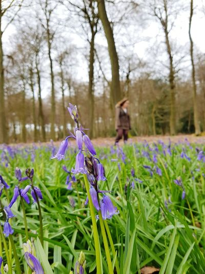 Bluebells coming out this spring Bluebells Bluebell Woods Woods Flower Purpleflower Purple Walks Countryside Spring Nature Nature Walk Plants 🌱