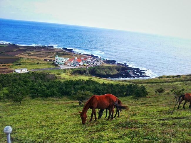 JEJU ISLAND  Horse Pasture Land