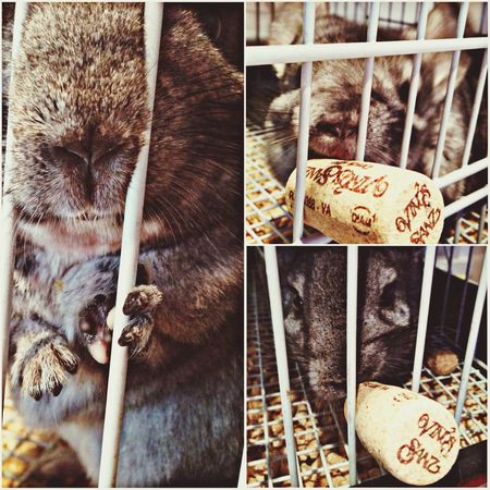 Chinchilla Friends she loves Wine Stoppers :-)) ☺️ Pets