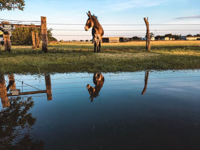 Donkey Animal Water Sky Reflection Nature Cloud - Sky Day Outdoors Beauty In Nature Puddle Tranquility Tree