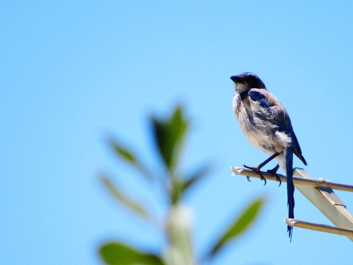 Wild Bird California Scrub Jay Bird Perching Clear Sky Blue Full Length Bird Of Prey Sky Close-up Songbird
