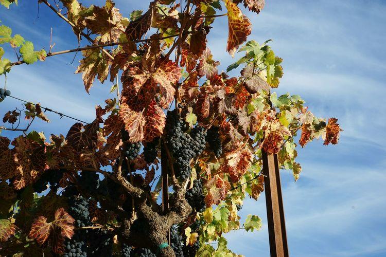Black Grapes Growing On Vine Against Sky