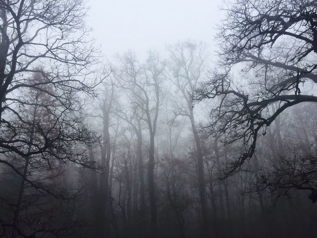 Spooky fog in a forest of leafless trees Tree Nature Beauty In Nature Bare Tree Fog Branch Tranquility No People Tranquil Scene Outdoors Scenics Mist Day Forest Landscape Hazy  Low Angle View Sky Branches Autumn Horror Spooky Lost In The Landscape