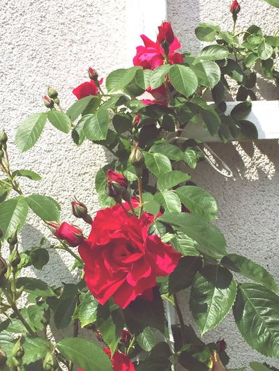 The Essence Of Summer Roses Growing Blossom Rosy My Garden Flower Beautiful Love It