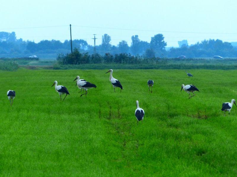 Invasion Storch Störche Feld Futterzeit