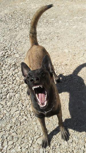 One Animal Animal Themes Dog Domestic Animals Pets Shadow Malinoislovers Malinoisofeyeem Malinois Dog Malinoispuppy Peoplephotography Malinois Malinoislover