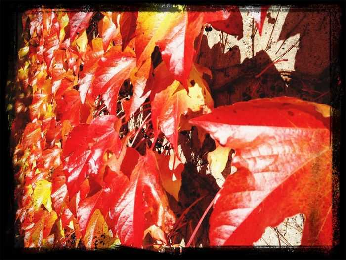 Autumn Leaves Autumn Autumn Colors Belunia